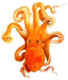 Adolf-Naef_Octopus_Squid_5