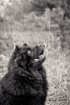 Chow-chow,looks like our Bear