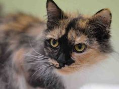 Pets on Death Row - Urgent Death Row Cats TO BE DESTROYED 2/27/15 Manhattan Center  My name is MIXIE. My Animal ID # is A1028660. I am a female calico domestic mh. The shelter thinks I am about 8 YEARS old