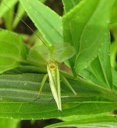 Tree cricket information with photos and videos