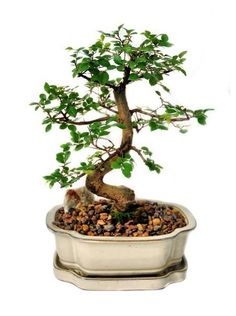 Chinese Elm (Ulmus Parvifolia) Bonsai Tree.