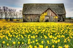 yellow accents on the barn to match the yard full of daffodils Country Barns, Old Barns, Country Life, Country Roads, Country Living, Farm Barn, Country Scenes, Cabins And Cottages, Old Buildings