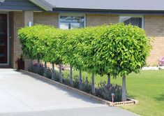 Gardening Design Inspiration, try the leading post suggestion # 7339630065 for creating your next garden plan. Garden Trees, Garden Hedges, Cottage Garden Plants, Side Yard Landscaping, Small Front Gardens, Next Garden, Garden Planning, Garden Design, Front Garden Design