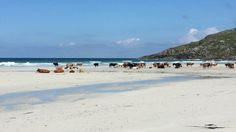 Isle of Barra -Cattle on the beach
