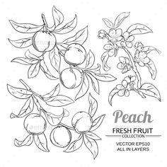 Buy Peach Vector Set by on GraphicRiver. peach branches vector set on white background Simple Line Drawings, Easy Drawings, Peach Tattoo, Fruit Sketch, Branch Vector, Botanical Line Drawing, Fruits Drawing, Floral Embroidery Patterns, Blossom Tattoo