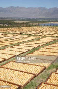 ストックフォト : Drying pears in Ceres on a farm, Western Cape Province, South Africa
