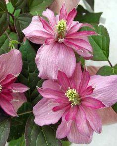 "Clematis Montana ""Broughton Star"": vigorous grower, sun or part shade, no pruning; up to 20ft."