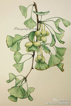 银杏 作者:prayingzy(中国国家地理杂志社编辑)手绘 植物 花卉 水彩 Watercolor Leaves, Watercolor Cards, Watercolor Paintings, Botanical Drawings, Botanical Prints, Garden Mural, Simple Artwork, Nature Drawing, Leaf Art