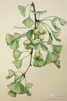 银杏 作者:prayingzy(中国国家地理杂志社编辑)手绘 植物 花卉 水彩