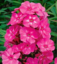 Fragrant Phlox are valuable garden plants that bloom in sun or shade, offered by - White Flower Farm