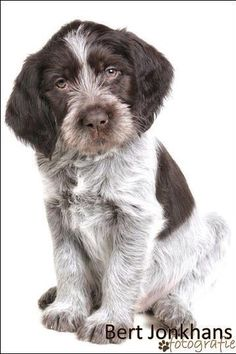 German Wirehaired Pointer Pup ~ Classic Look