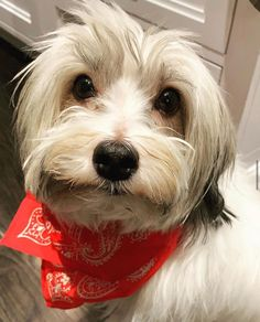 Henry is and we are here for it . Havanese, Dogs, Animals, Animales, Animaux, Pet Dogs, Doggies, Animal, Animais