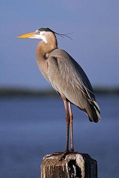 Blue Heron                                                                                                                                                                                 More