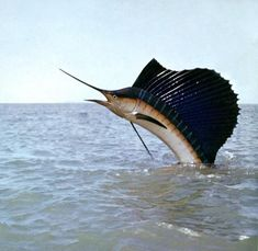 swordfish jumping out of water!