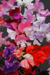 Kaleidoscope mix Sweet Peas. Dr. Keith Hammett's site in New Zealand. http://www.drkeithhammett.co.nz/shop/index.php?productID=149