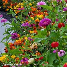 Golf Course Quick Color Wildflower Seed Mix - Wildflower Seeds from American Meadows Marigolds In Garden, Zinnia Garden, Gardening Courses, Gardening Tips, Gardening Services, Gypsophila Elegans, Gloriosa Daisy, American Meadows, California Poppy