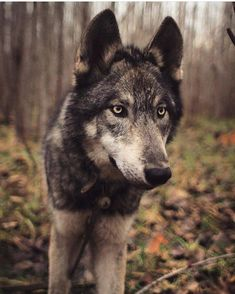Beautiful! @ivar_the_real_wolfdog #shoutout