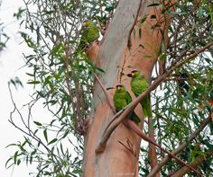 A trio of parrots by Photosuze, via Flickr