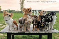 Chihuahua is a very amazing dog. So now that you are interested in adopting or buying Chihuahua, check first the list of Chihuahua colors and markings Long Haired Chihuahua, Cute Chihuahua, Chihuahua Puppies, Cute Puppies, Cute Dogs, Dogs And Puppies, Chihuahuas, Doggies, Teacup Chihuahua