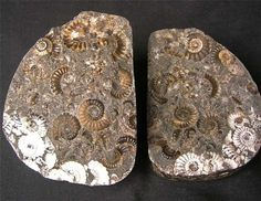 UK fossils including British ammonites - Fossils Direct