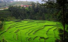 paddy field on the way to Panauti, Nepal by chandrackd, via Flickr