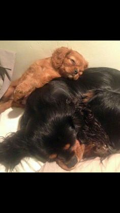 Cute ! Cute Puppies, Cute Dogs, Dogs And Puppies, King Charles Spaniel, Cavalier King Charles, Animals And Pets, Cute Animals, Dog Breeds List, Cute Little Baby