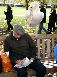Pelicans in St James's Park, London photo Demotix/Craig Shepheard