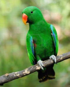 Beautiful green eclectus parrot bird Stock Photo