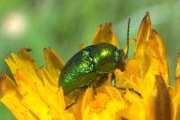 Insectos. Escarabajo de la menta - chrysolina herbacea