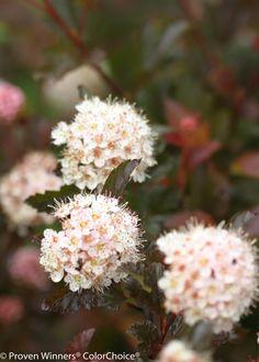 Ninebark Coppertina®   Physocarpus opulifolious in bloom