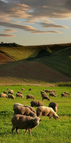 Grazing sheep (may be in Slovakia, acc. to earlier note on pin). Bratislava, Beautiful World, Animals Beautiful, Beautiful Places, Sheep And Lamb, The Good Shepherd, All Nature, Central Europe, English Countryside