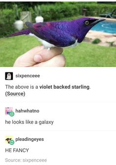 The above is a violet backed starling. (Source) he looks like a galaxy % pleadingeyes HE FANCY Source: sixpenceee - iFunny :) - The above is a violet backed starling. (Source) he looks like a galaxy % pleadingeyes HE FANCY Sour - Cute Funny Animals, Funny Cute, Hilarious, Funny Birds, Beautiful Creatures, Animals Beautiful, Animals And Pets, Baby Animals, A Silent Voice