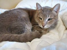DSH Burmese/Siamese X, female, spayed *DECLAWED* DOB: 2008Our adorable 'Lucky' was rescued from a high kill shelter where she was moments from euthanasia. Because of her champagne colouring and crossed-eyes we really had to do some research on this...