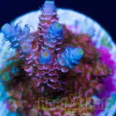 "Reef Raft USA ""Rainbow Blossom"" Signature Acro"