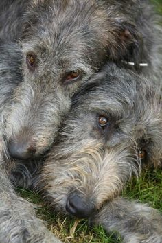 "The Irish Wolfhound ~ is the tallest of all dogs, but not the heaviest. A superb athlete and most important of all ~ ""gentle when stroked, fierce when provoked""."