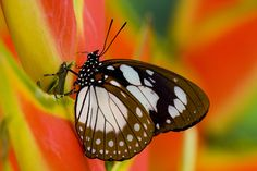 Tropical Butterfly Euxanthe wakefieldi on Heliconus Photography by: Darrell Gulin