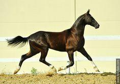 Akhal-teke horses for sale - Sevan-Shael(Saivan - Djennet-Shael)