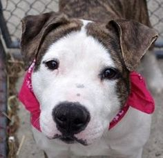 ●8•1•17 STILL THERE●SUPER URGENT 7•30•17● MANHATTAN - STELLA aka MUSHKA – A1102447 ***RETURNED 07/30/17 *** SPAYED FEMALE, BR BRINDLE / WHITE, AM PIT BULL TER MIX, 3 yrs OWNER SUR – ONHOLDHERE, HOLD FOR ID Reason MOVE2PRIVA Intake condition EXAM REQ Intake Date 07/30/2017, From NY 10037, DueOut Date 07/30/2017, Medical Behavior Evaluation BLUE