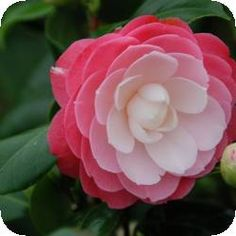 If you like intricate flowers then look no furter than this variety of Camellia japonica. Grow in a pot if soil is dry and chalky. From Park Horse Farm Nurseries: 57206 Blooming Flowers, My Flower, Flower Art, Flower Power, Pink Flowers, Beautiful Flowers, Gardenias, Carnivorous Plants, Plantation