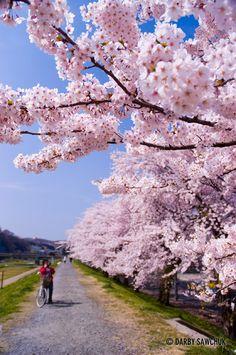 Cherry blossoms in spring in Ichinoseki, Iwate, Japan.