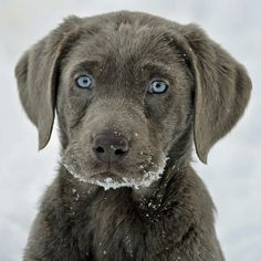 Chocolate Labrador retriever pup