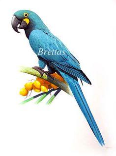 Arara-azul-pequena (Anodorhynchus glaucus)  https://www.facebook.com/eduardo.brettas