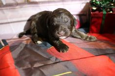 All our puppies come with a two year health guarantee, micro-chipped, dew clawed, all shots and wormings for their age. Doodles, Nursery, Puppies, Mini, Dogs, Animals, Animais, Animales, Animaux