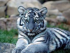 """""""También conocido como tigre azul,casi mítico. El termino de tigre azul se refiere a una sospechada mutación del color del pelaje que pudieron tener algunos tigres, principalmente """"avistados"""" en la provincia China de Fujian. Se dice que poseen una piel azulada con rayas de un tono gris oscuro, aunque se piensa que esta mutación podría haber desaparecido. http://lavozdelmuro.net/26-magnificos-felinos-que-quizas-no-conocias-y-que-estan-desapareciendo-de-la-vida-salvaje-1/"""
