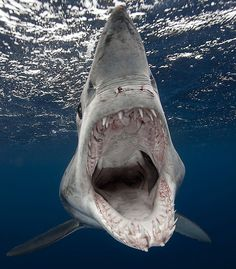 Oopen wide and say AHH! Unwelcome guest: This bad-tempered shortifn Mako shark circled a photographer's boat for hours