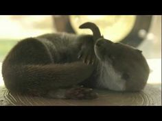 Video footage of an otter nomming his tail - June 19, 2012