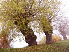 Alte Weiden im Herbstnebel