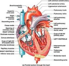 Anatomy Of The Human Heart . Anatomy Of The Human Heart Heart Diagram Rightleft Atria Rightleft Ventricles Pulmonary Human Body Anatomy, Human Anatomy And Physiology, Brain Anatomy, Muscle Anatomy, Anatomy Study, Human Heart Diagram, Body Diagram, Diagram Of The Heart, Heart Structure Diagram