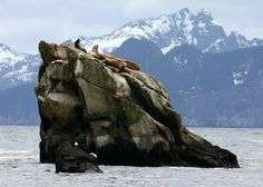 Resurrection Bay, Seward - Another CLO favorite birding spot! Birds to look for: Ancient, Marbled, and Kittlitz's murrelets; Arctic Tern, Horned and Tufted puffins; Rhinoceros Auklet; Red-faced Cormorant; Spruce Grouse   photo by Flickr user Frank Kovalchek