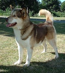 Greenland Dog - Gronlandshund - Greenland (Denmark) - Large breed of husky-type dog kept as a sled dog and for hunting polar bear and seal.